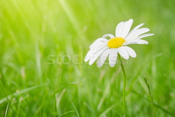 Camomille fleur champ d'herbe ensoleillée été jour Photo stock © karandaev