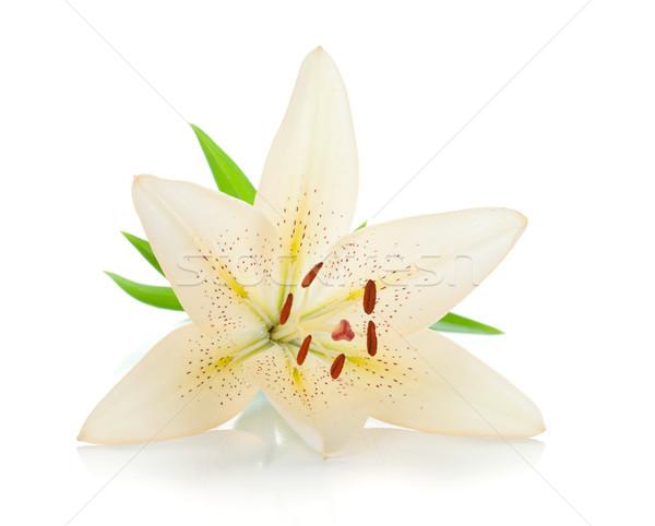 Blanco Lily hojas verdes aislado flor primavera Foto stock © karandaev