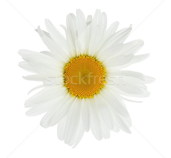 Stock photo: Chamomile flower