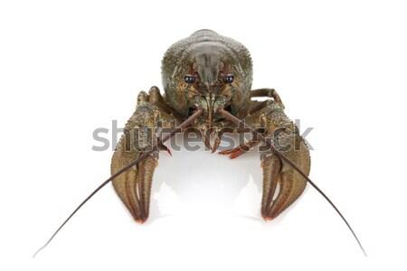 Crayfish Stock photo © karandaev