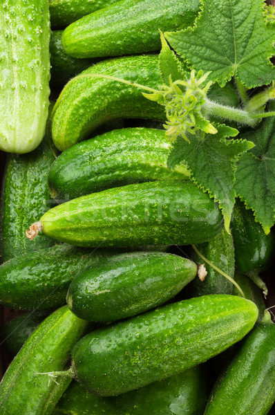 Fresh garden cucumbers Stock photo © karandaev