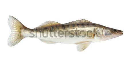 Pike fish Stock photo © karandaev