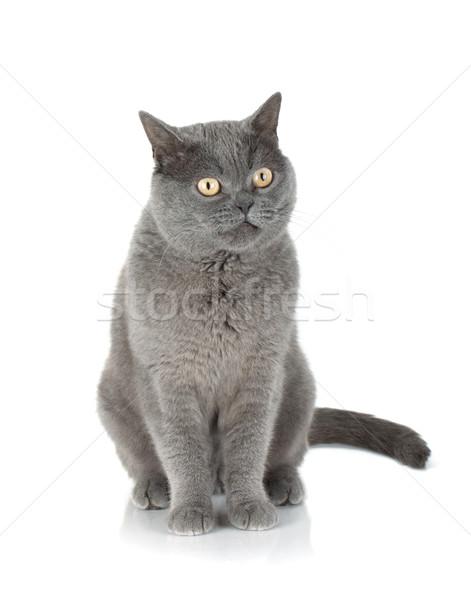 Seduta grigio cat isolato bianco occhi Foto d'archivio © karandaev