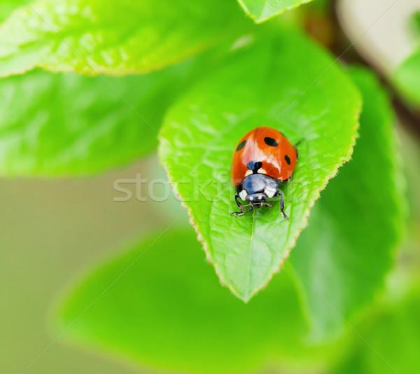 Katicabogár zöld levél kert kilátás copy space tavasz Stock fotó © karandaev