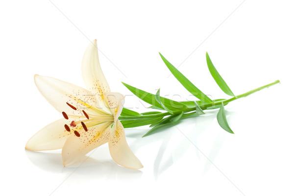 Сток-фото: белый · Лилия · изолированный · цветок · весны · фон
