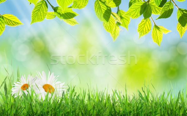Resumen soleado primavera hierba manzanilla flores Foto stock © karandaev