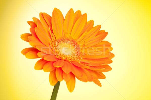 Orange gerbera flower Stock photo © karandaev