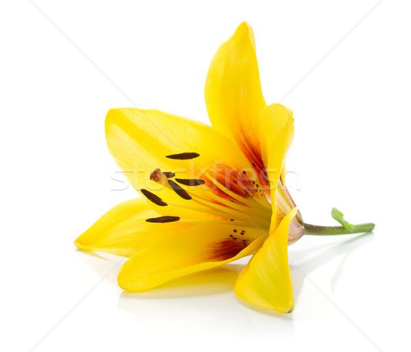 желтый Лилия изолированный белый цветок весны Сток-фото © karandaev