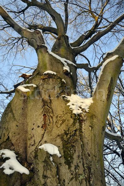 Vieux arbre âge feuillus hiver grenouille Photo stock © karin59