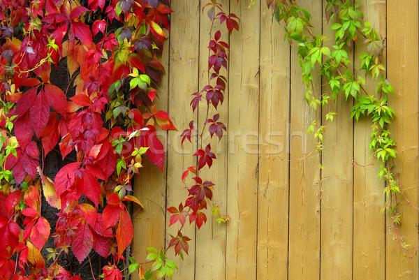 Sauvage vin vigne automne Photo stock © karin59