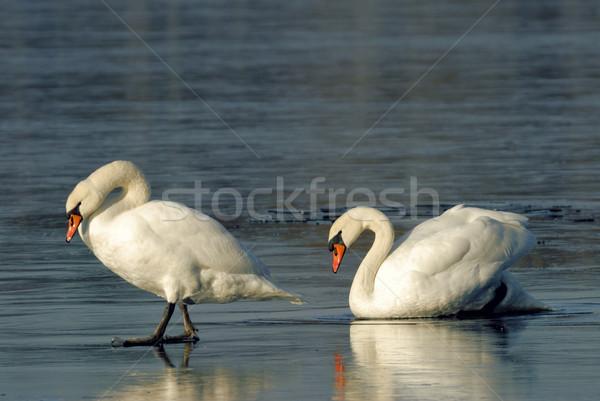ミュート 白鳥 低い 氷 することができます ブレーク ストックフォト © karin59