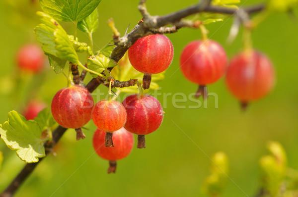 Rouge suspendu Bush jardin vert Photo stock © karin59