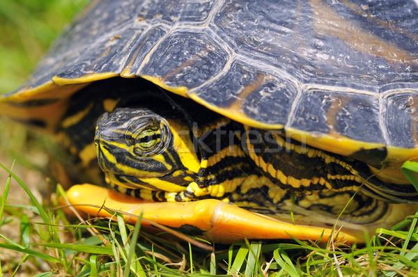 Jaune joues accueil bijoux tortue eau Photo stock © karin59