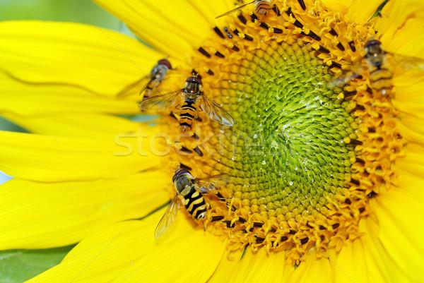 Girassol amarelo insetos céu sol verão Foto stock © karin59