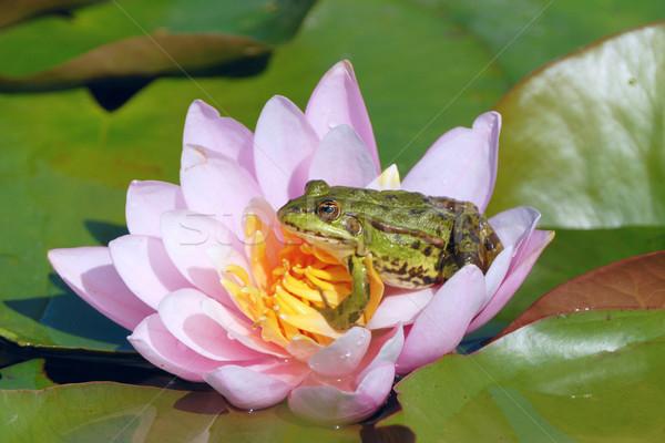 étang grenouille Lily Photo stock © karin59