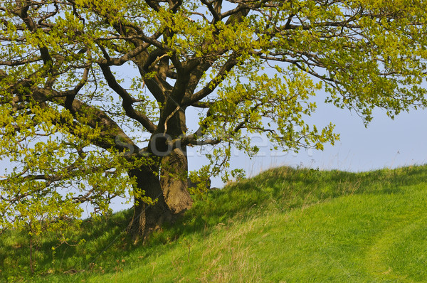 Tree in the spring Stock photo © karin59