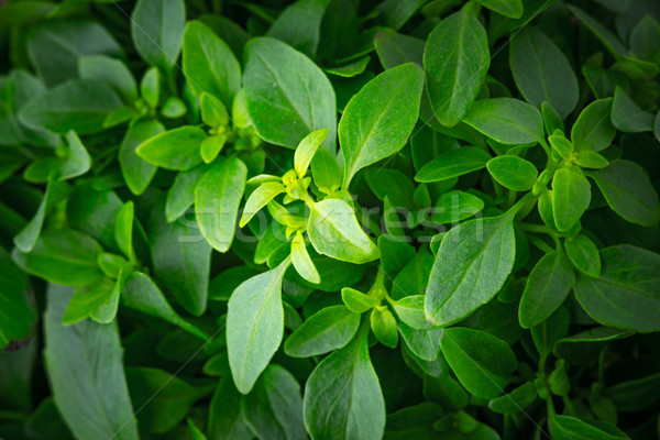 Basil leaves on the stems close-up Stock photo © Karpenkovdenis