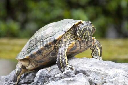 черепаха камней цветок воды зеленый каменные Сток-фото © kawing921