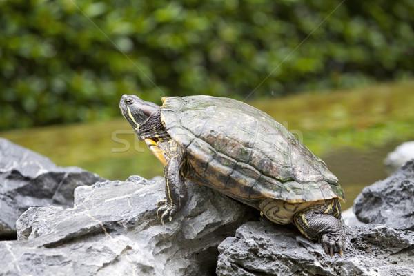 Schildpad steen water natuur zee leuk Stockfoto © kawing921