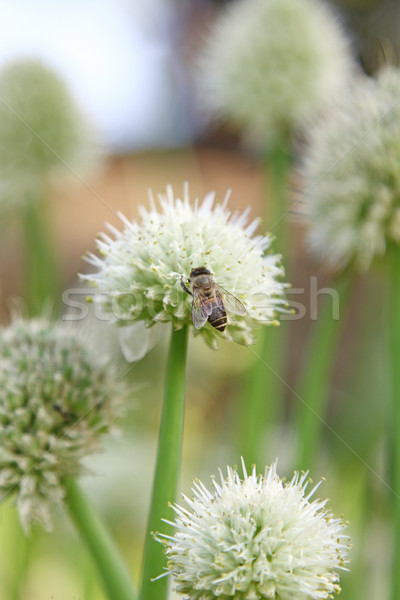 Onion flowers with bee Stock photo © kawing921