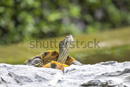 Tortoise on stone taking rest Stock photo © kawing921