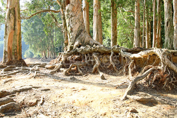 Buttress root on the ground Stock photo © kawing921
