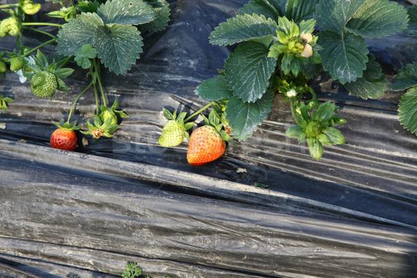 Morangos campo comida fruto jardim fundo Foto stock © kawing921