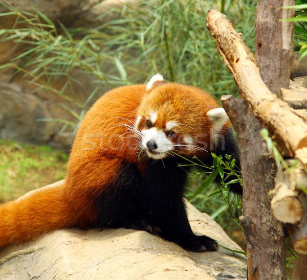 The endangered red panda  Stock photo © kawing921