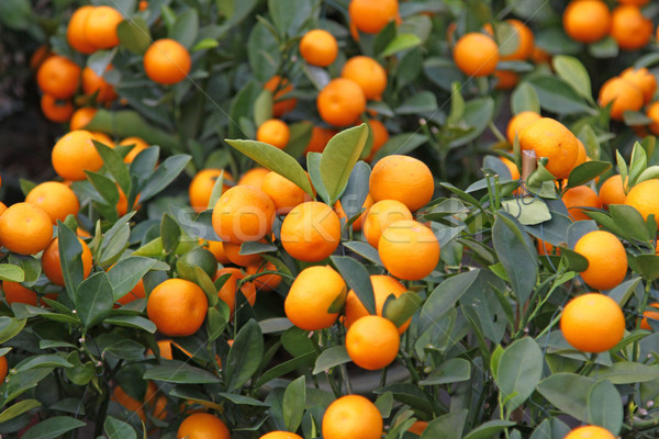 Narancsfa ünnepel kínai új év virág fa fény Stock fotó © kawing921
