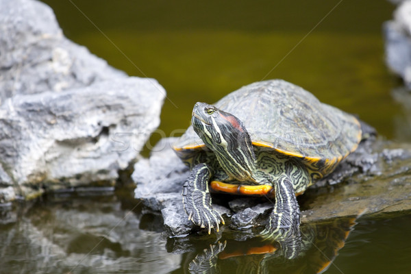 Tortoise on stone relaxing Stock photo © kawing921