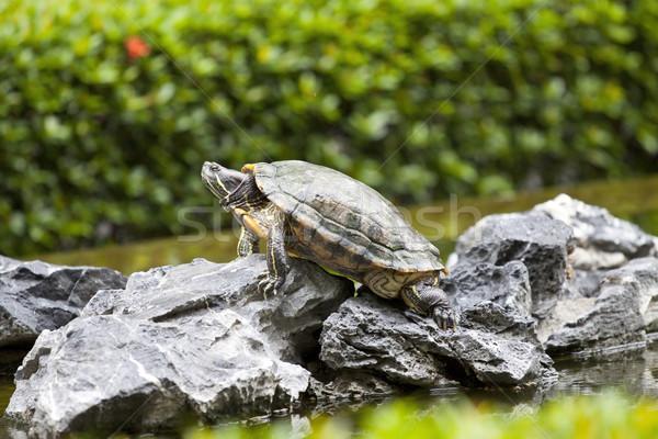 Schildpad steen bloem water groene hoofd Stockfoto © kawing921