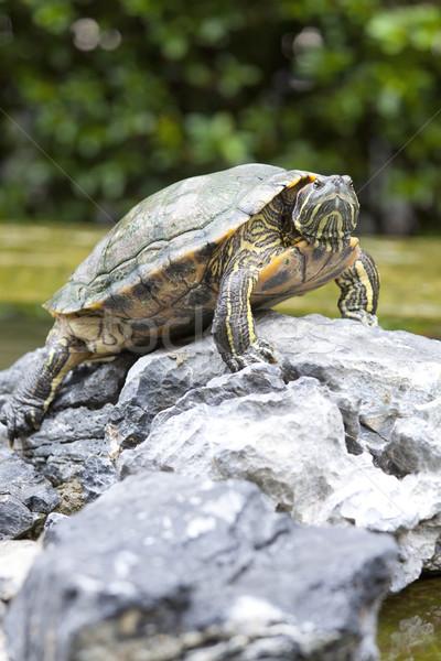 Tortoise on stone Stock photo © kawing921