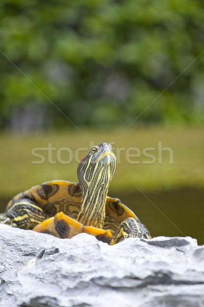 Schildpad steen ontspannen bloem water groene Stockfoto © kawing921