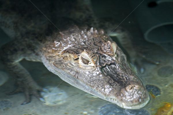 Portret krokodyla wewnątrz wody uśmiech zielone Zdjęcia stock © kawing921