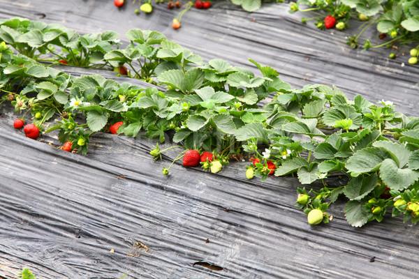 Eprek mezők étel gyümölcs kert háttér Stock fotó © kawing921