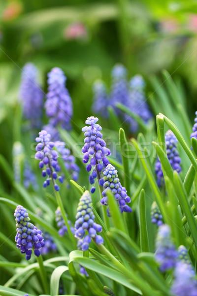 Grape hyacinth macro shot Stock photo © kawing921