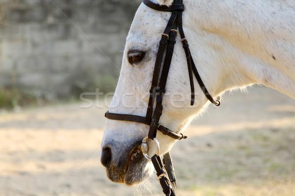 White horse close-up Stock photo © kawing921