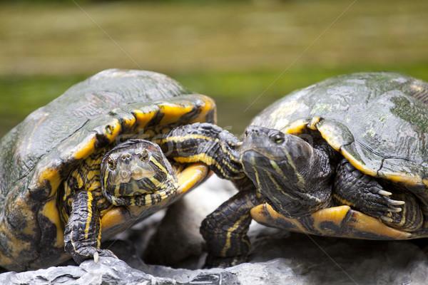 Tortoises on stone Stock photo © kawing921