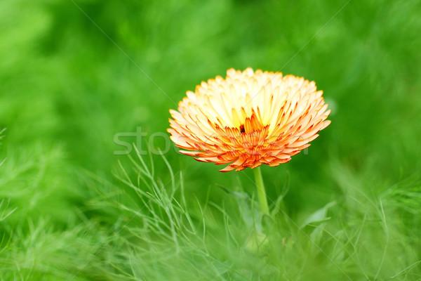 Orange spring flower Stock photo © kawing921