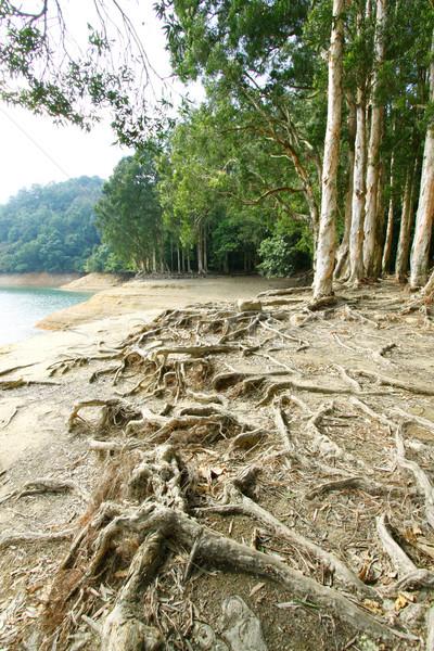 Gyökér föld fa erdő természet levél Stock fotó © kawing921