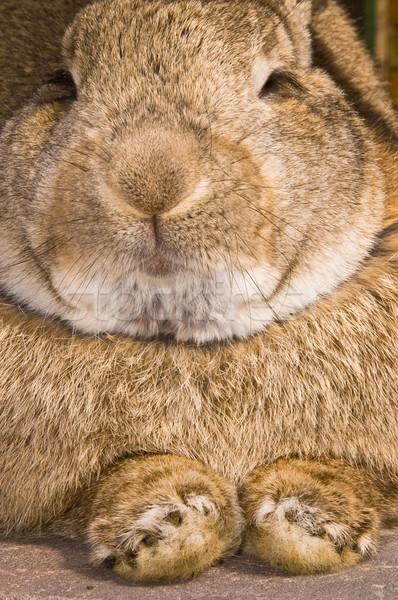 кролик Bunny животного ПЭТ Сток-фото © kaycee