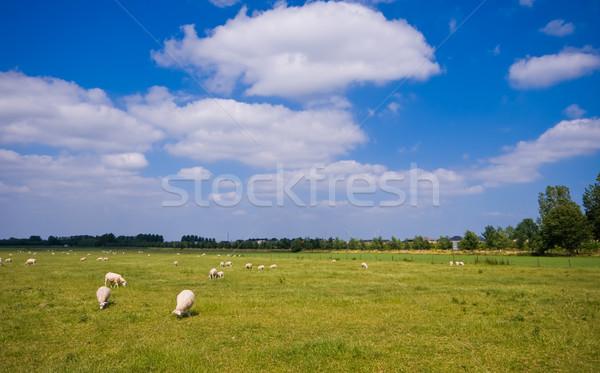 Сток-фото: пастбище · овец · облака · облачный · Blue · Sky · небе