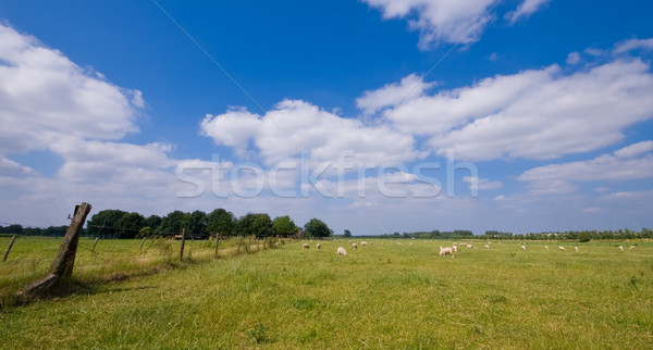 овец луговой пейзаж сельский синий облачный Сток-фото © kaycee