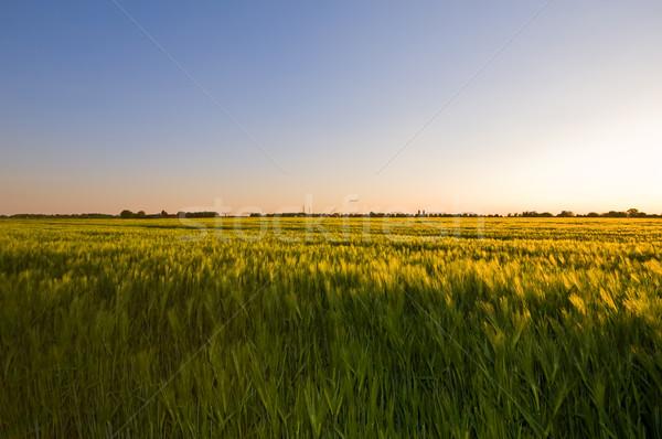 Tarde tarde agradable puesta de sol brillo trigo Foto stock © kaycee