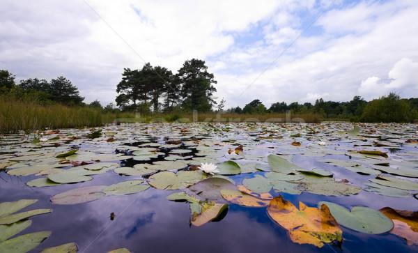 Лилия пруд покрытый облачный день Сток-фото © kaycee