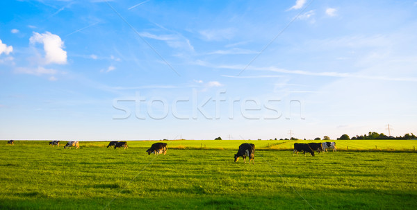 green pasture with cows Stock photo © kaycee