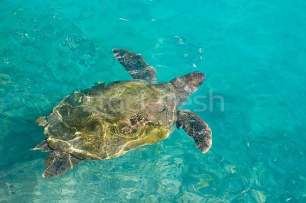 плаванию морем черепахи бирюзовый воды оболочки Сток-фото © kaycee
