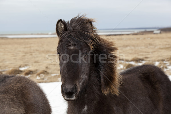 Portrait of a black Icelandic horse Stock photo © kb-photodesign