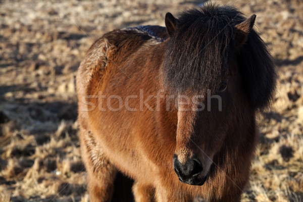 Brown Icelandic pony on a meadow Stock photo © kb-photodesign