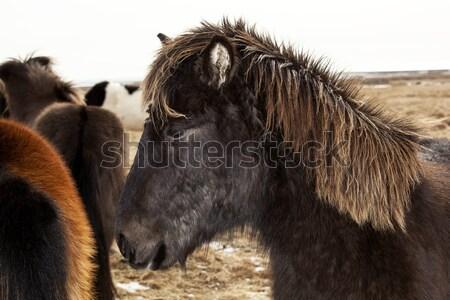 Portrait of a black Icelandic pony with brown mane Stock photo © kb-photodesign